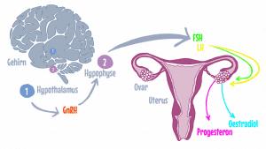 der weibliche zyklus